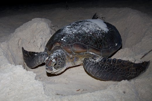 a discussion on the effects of natural selection on hatchling turtle size Locomotion performance of green turtle hatchlings from the heron island rookery  besides its effect on hatchling size  in natural green turtle.