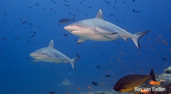 Kuredu Express shark dive Maldives