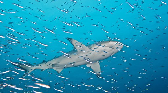 Maldives Sharks