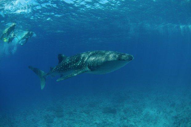Maldives Scuba Diving Whale Shark