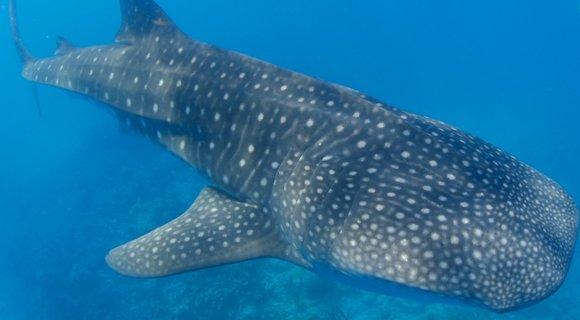 Whale shark 2 Marc