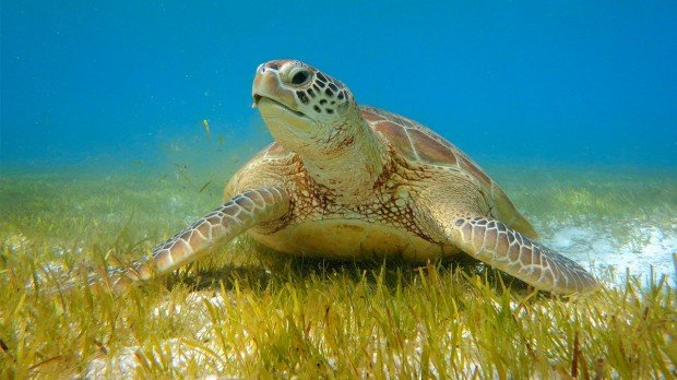 Maldives Snorkelling Turtle