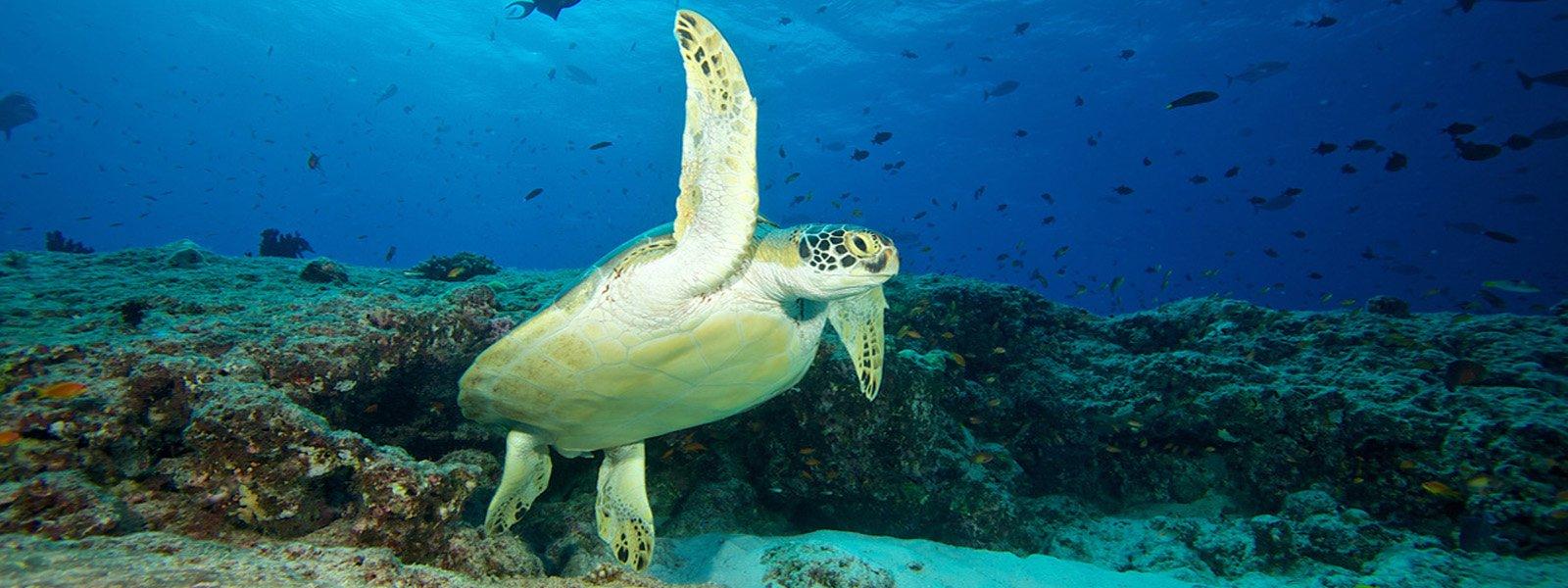 Maldives Snorkel Turtle Kuredu