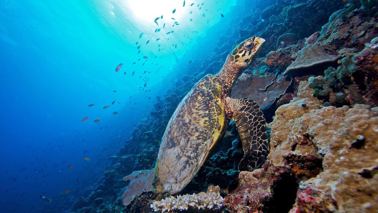 Maldives Snorkel Kuredu Turtle