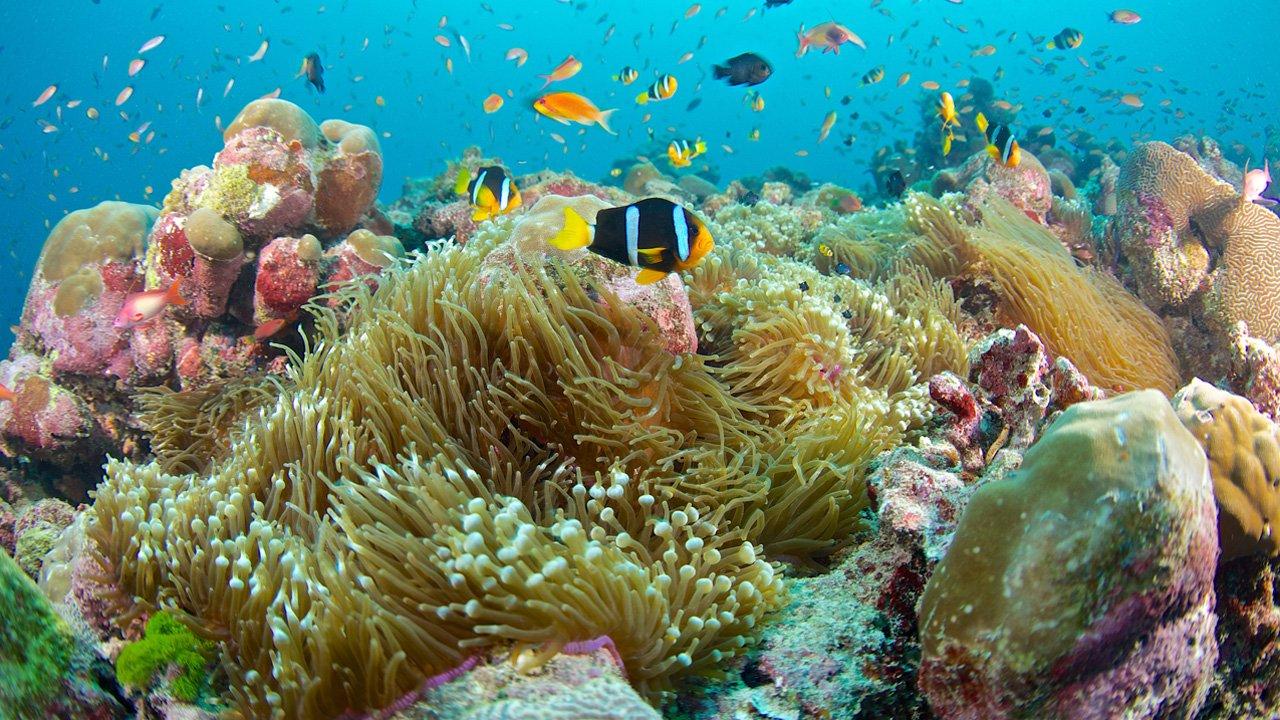 Maldives Snorkel Anemone Clownfish