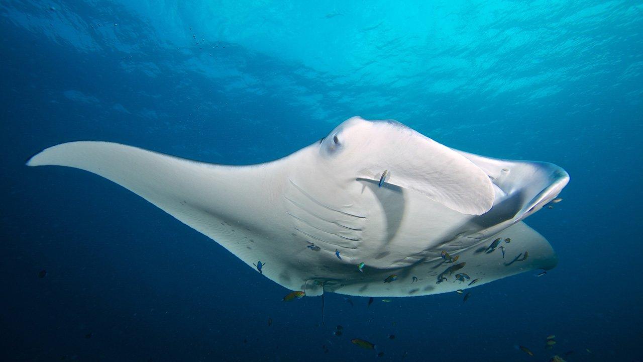 Maldives Snorkel SIte Manta Kuredu