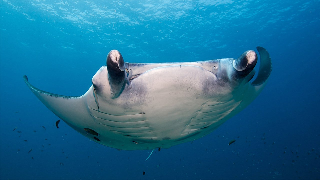 Maldives Scuba Diving Manta Ray