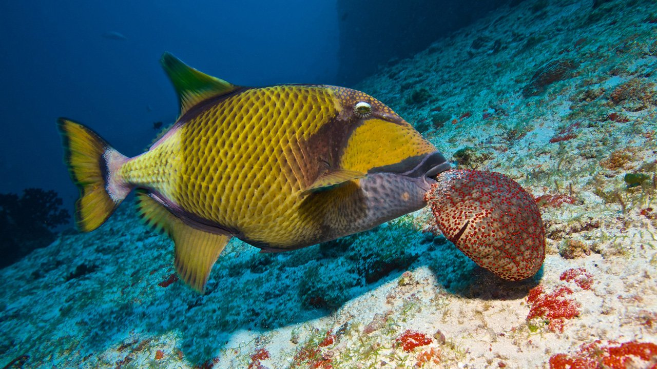 Scuba Diving Maldives Trigger Fish