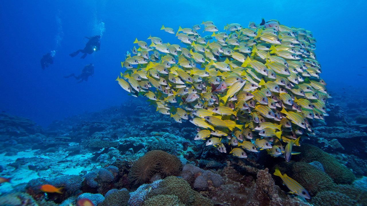 Maldives Scuba Diving Lily Snappers