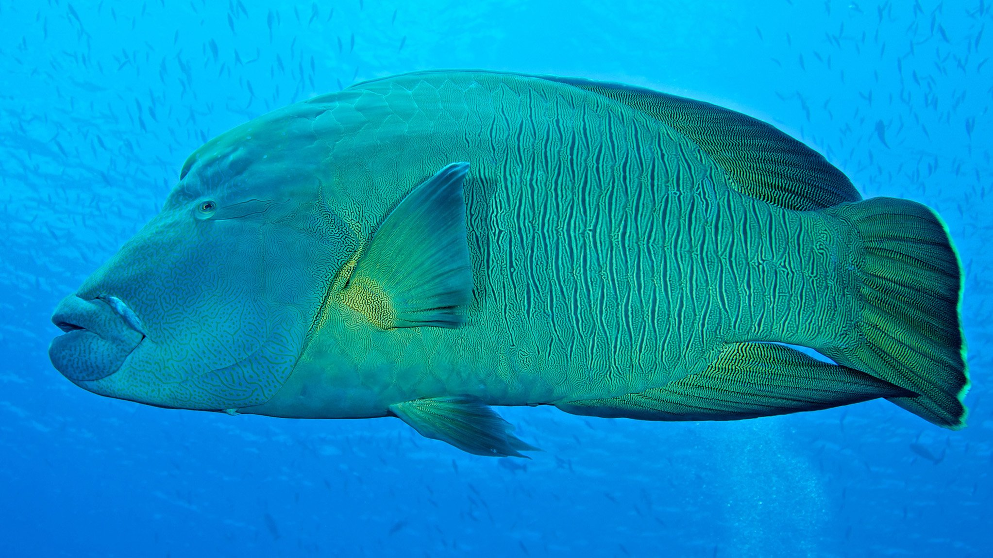 Scuba Diving Maldives Napoleon Wrasse