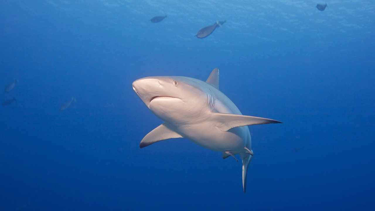 Scuba Diving Maldives Shark