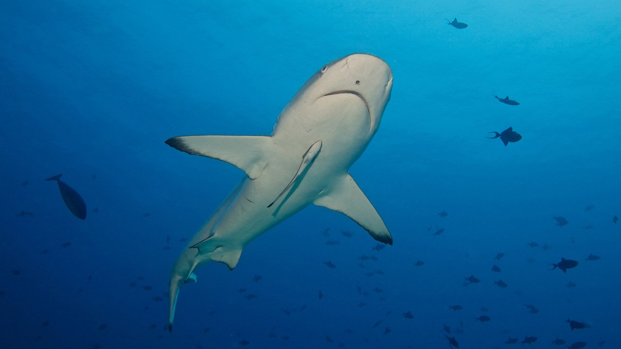 Maldives Scuba Diving Shark