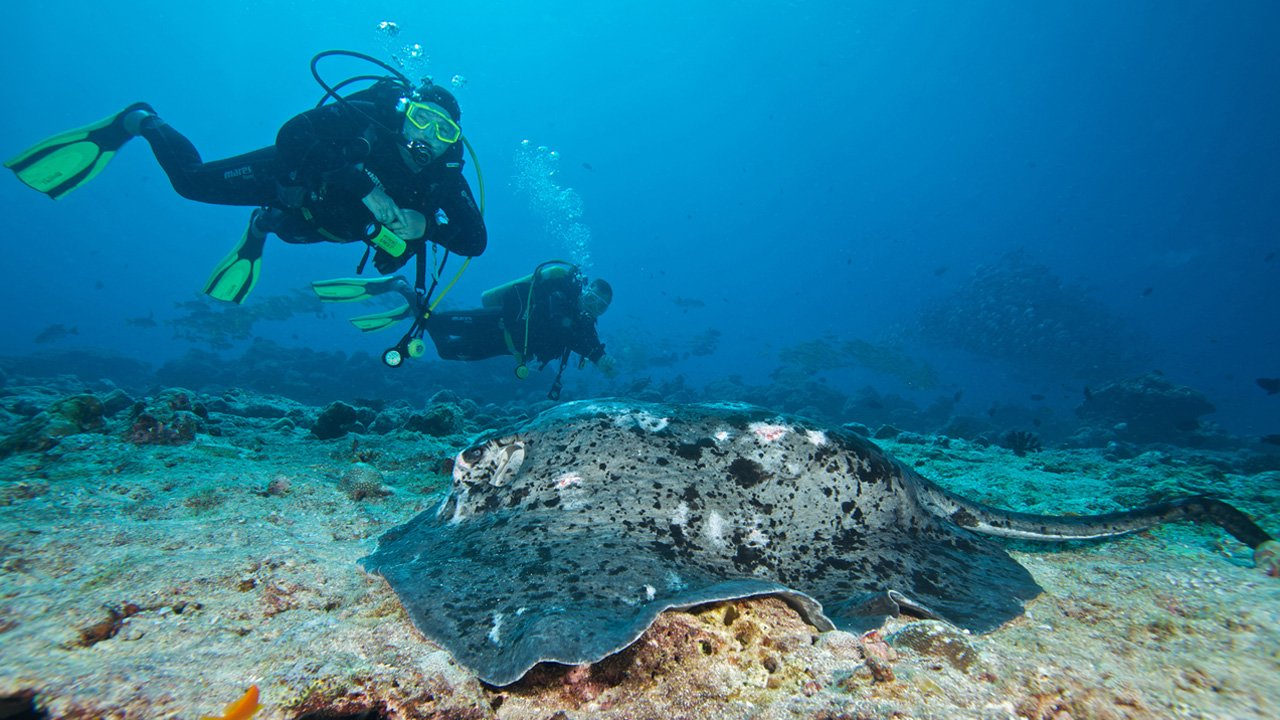 Maldives Scuba Diving Stingray