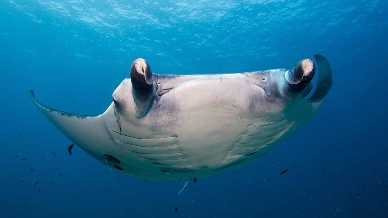 Scuba Diving Maldives Manta Ray