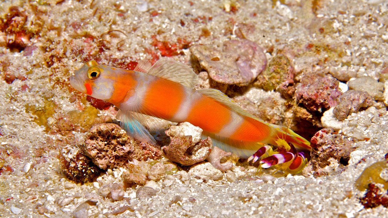 Scuba Diving Maldives Goby Shrimp