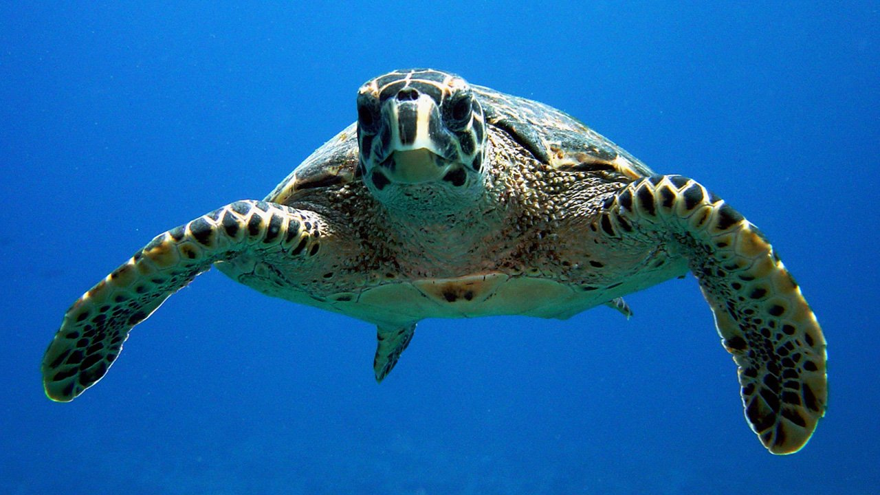 Scuba Diving Maldives Turtle