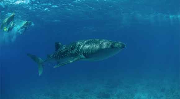 whale-shark-snorkellers-580x320