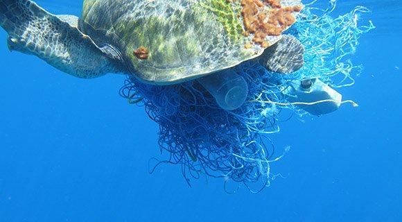 Olive Ridley Turtles Maldives