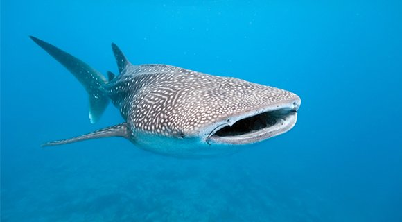 whale shark vakarufalhi maldives