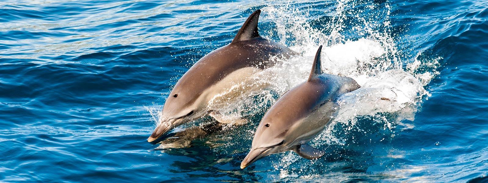 hurawalhi-maldives-dolphins-1600x600