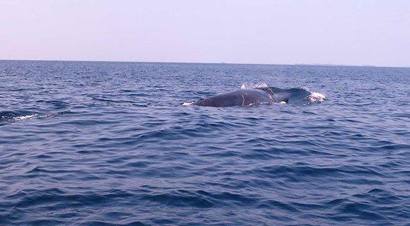 blue-whale-kuredu_580x320