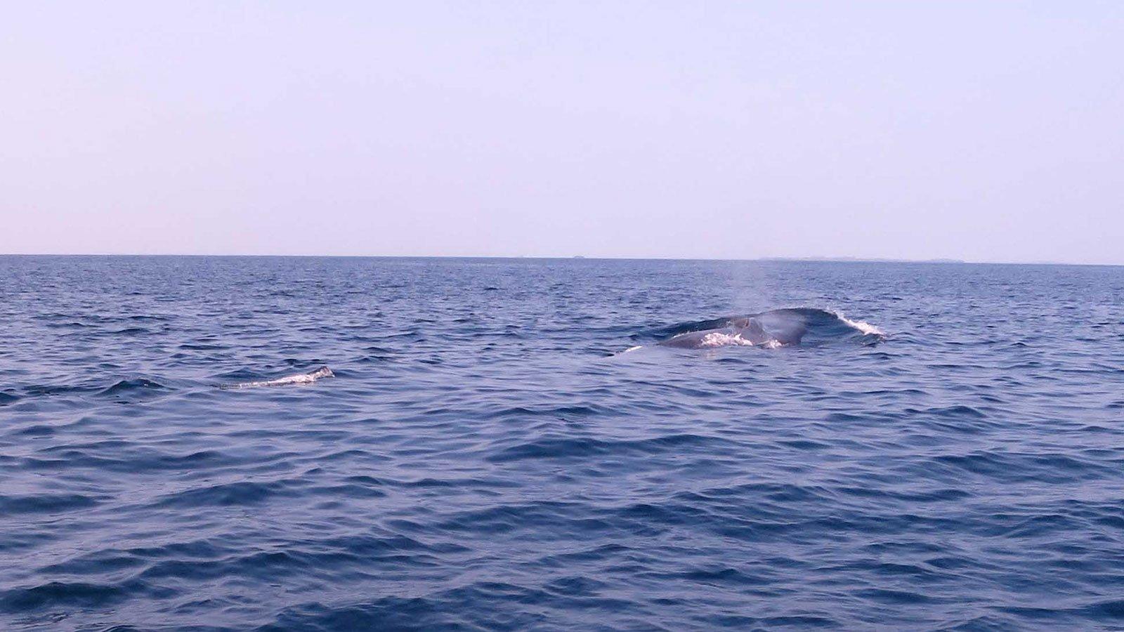 Prodivers Kuredu Blue Whale 2