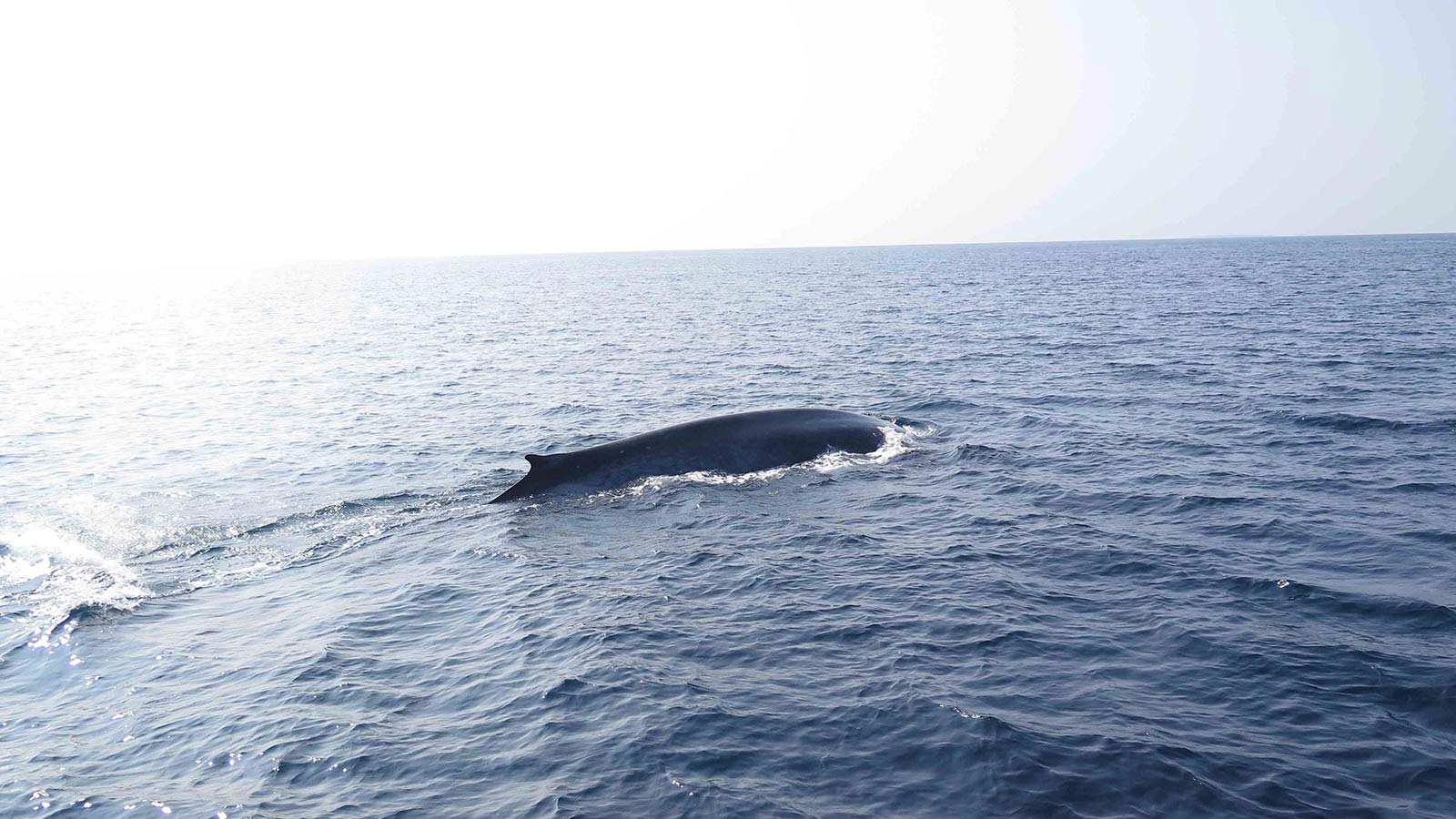 Prodivers Kuredu Blue Whale 4