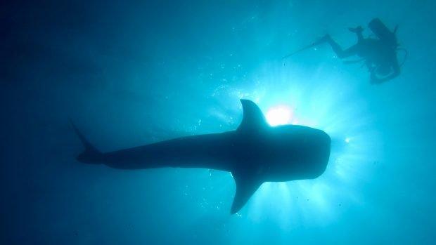 Whale shark diving Maldives