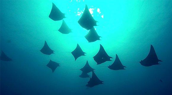 Manta mobulas Komandoo Maldives