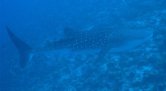 Hurawalhi - Maldives Diving