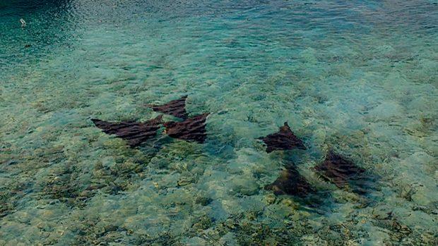 Eagle rays Maldives