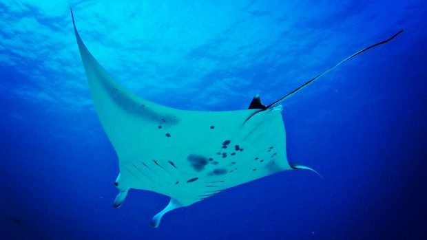 Manta Rays Lily Beach Maldives