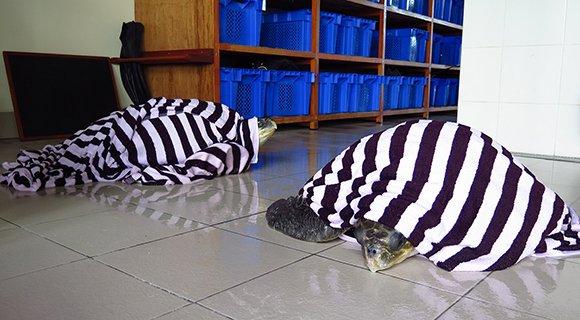 Sea Turtle Rescue Hurawalhi Maldives