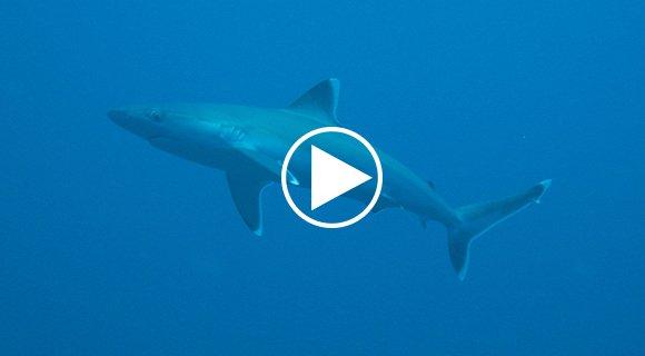 Silvertip Shark Scooter dive video