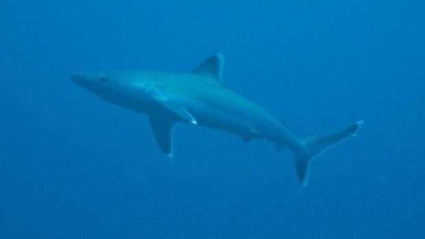 Silvertip Shark Kuredu Maldives