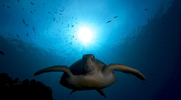 Green Sea Turtle Maldives