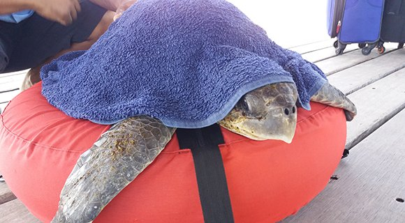 Olive Ridley Sea Turtle Rescue Maldives