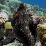 Common Octopus Diving Snorkelling Maldives
