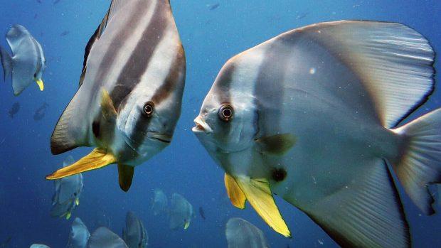 Batfish Lily Beach Maldives