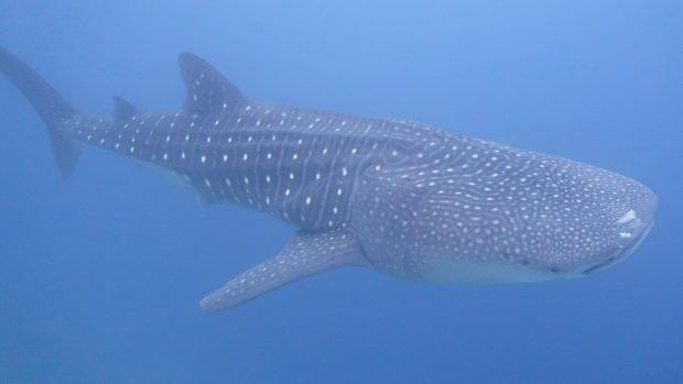 Whale Shark Lily Beach Maldives