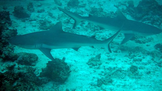 Maldives Sharks Diving