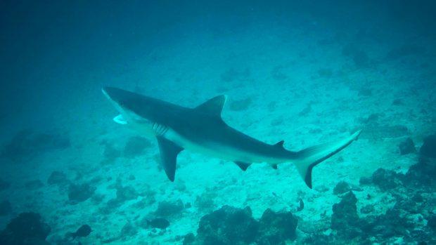 Maldives Sharks Diving