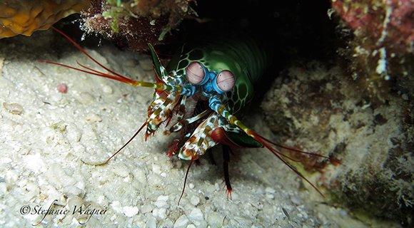 Peacock Mantis Shrimp Maldives