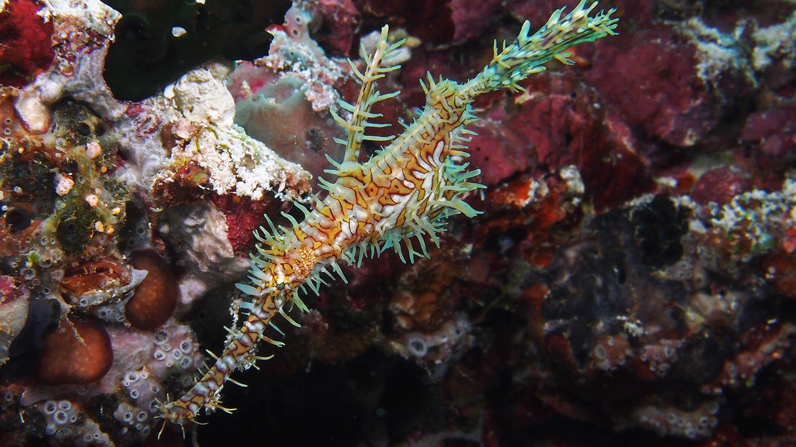 Ghostpipefish Maldives diving