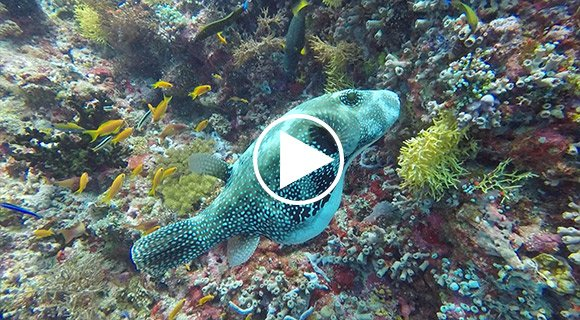 Pufferfish Maldives Video