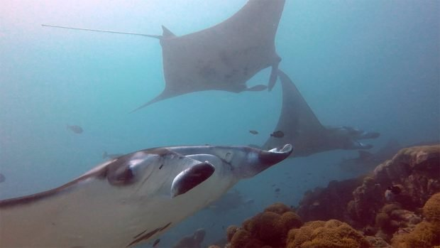 Maldives Manta Ray Diving