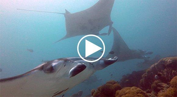 Maldives Manta Ray Diving