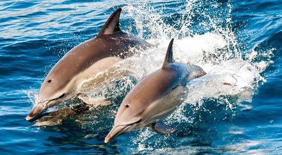 Hurawalhi Dolphins Maldives Diving