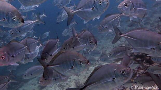 Maldives Scuba Diving Jacks
