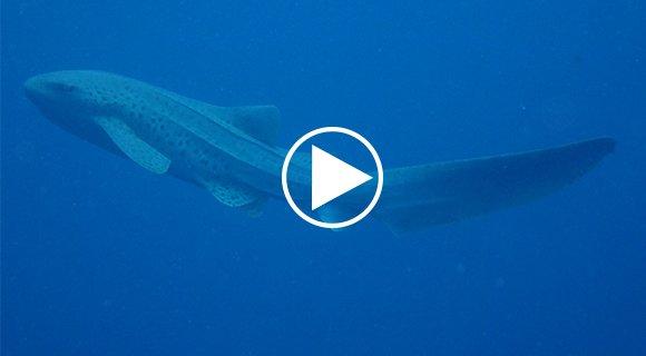 Zafari Leopard Shark Maldives